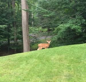 Lake Wallenpaupack deer fawn poconos