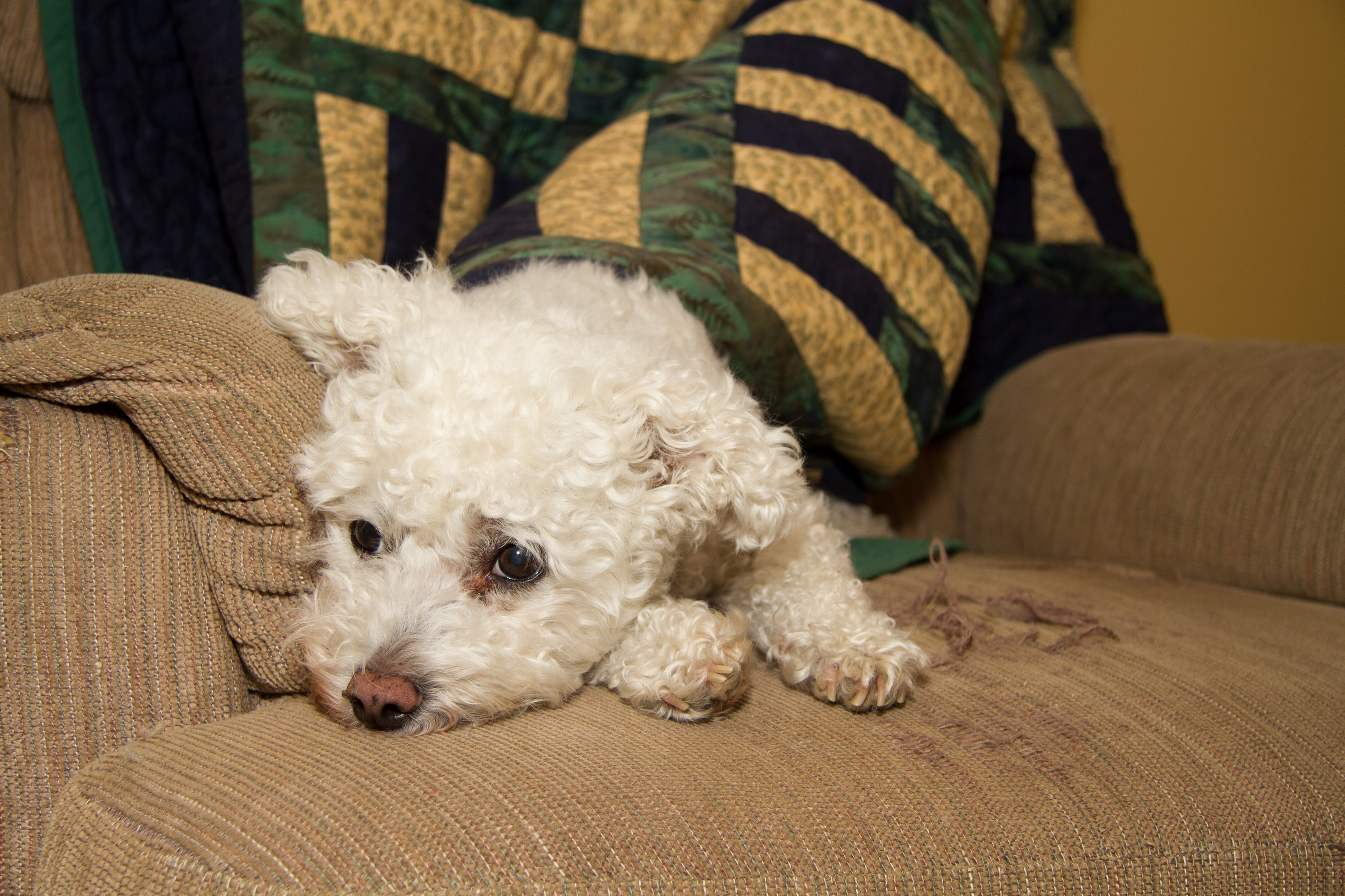 Animals, Bichon Frise, Dog, Pet, Wildlife, Yuki, yukes