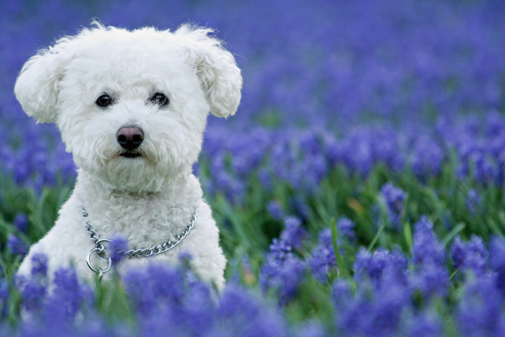 @pet, Bichon Frise, Bluebells, Flowers, Landscape, Lockridge Park, Purple Hyacinth, Yuki, canine, dog, dogs, feature, pet, yukes