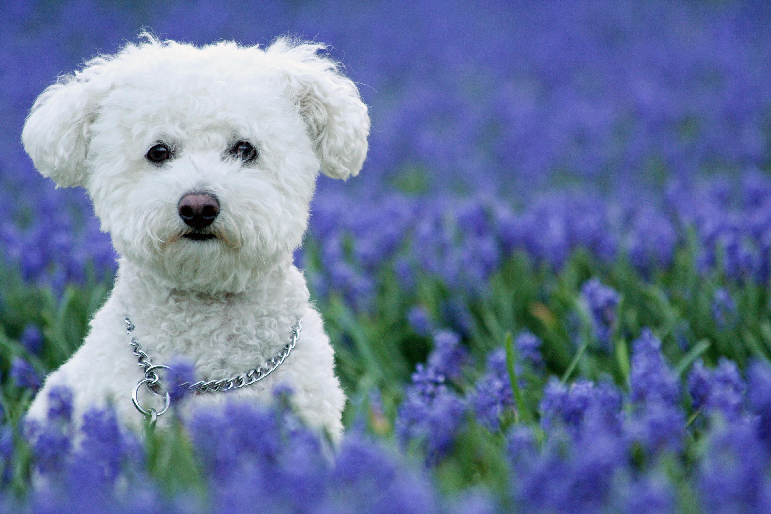 @pet, Animals, Bichon Frise, Bluebells, Dog, Flowers, Landscape, Lockridge Park, Pet, Purple Hyacinth, Wildlife, Yuki, canine, dog, dogs, feature, pet, smugmug, yukes