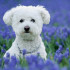 @pet, Animals, Bichon Frise, Bluebells, Dog, Flowers, Landscape, Lockridge Park, Pet, Purple Hyacinth, Wildlife, Yuki, canine, dog, dogs, feature, pet, smugmug, yukes