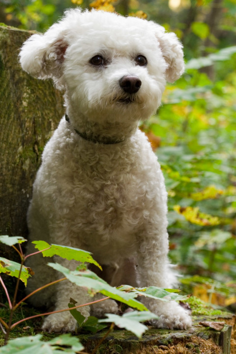 @Places, @pet, Adirondacks, Bichon Frise, Lake Clear, New York, United States, VIC, Yuki, canine, dog, dogs, pet, yukes